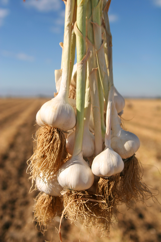Garlic Ready for Braiding